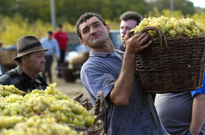 vinogradarstvo.jpg